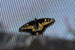 Anise swallowtail butterfly Stock Photos