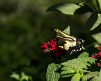 Anise swallowtail butterfly Royalty Free Stock Photos