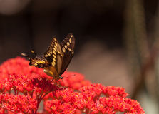 Anise swallowtail butterfly, Papilio zelicaon Royalty Free Stock Images