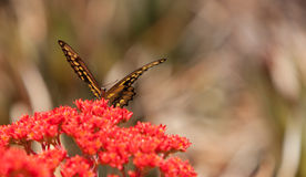 Anise swallowtail butterfly, Papilio zelicaon Stock Photos