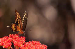 Anise swallowtail butterfly, Papilio zelicaon Stock Image