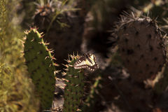 Anise swallowtail butterfly, Papilio zelicaon, on a prickly pear Royalty Free Stock Image