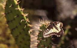 Anise swallowtail butterfly, Papilio zelicaon, on a prickly pear Stock Photos