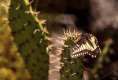 Anise swallowtail butterfly, Papilio zelicaon, on a prickly pear Stock Image