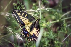 Anise Swallowtail Butterfly Royalty Free Stock Photography
