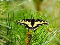 Anise Swallowtail Butterfly, shasta-Drievuldigheid Nationaal Bos, Noordelijk Californië stock foto's