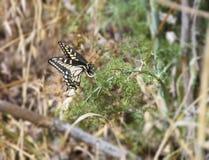 Anise Swallowtail Laying Eggs arkivbilder