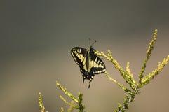 Free Anise Swallowtail Papilio Zelicaon Royalty Free Stock Photo - 5173895