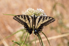 Anise Swallowtail (Papilio zelicaon) feeding off flower nectar Stock Photo