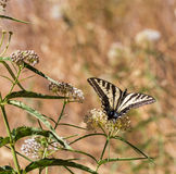 Anise Swallowtail (Papilio zelicaon) feeding off flower nectar Stock Images