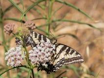 Anise Swallowtail (Papilio zelicaon) feeding off flower nectar Royalty Free Stock Image
