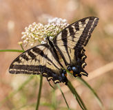 Anise Swallowtail (Papilio zelicaon) feeding off flower nectar Stock Photography