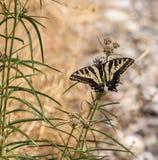 Anise Swallowtail (Papilio zelicaon) feeding off flower nectar Stock Photos