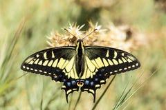 Anise Swallowtail Papilio zelicaon nectaring. Stock Photos