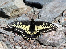 Anise Swallowtail Resting Royalty Free Stock Images