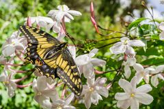 Anise Swallowtail-Schmetterling, der auf Jasminblumen, Kalifornien stillsteht stockfotografie