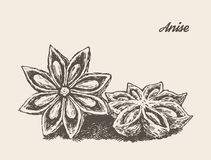 Anise vintage vector illustration engraved sketch Royalty Free Stock Images