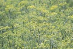 Aniseed rośliny Zdjęcia Stock