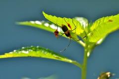 Anisocelis Flavolineata o insecto bandera-con base debajo de la hoja Imágenes de archivo libres de regalías