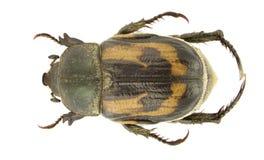 anisoplia hebes 库存照片