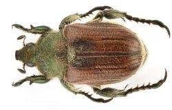 anisoplia pubipennis 库存照片