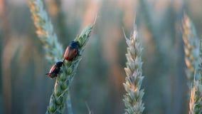 Anisoplia-segetum Insekt, Plage von Rasenflächen stockfoto