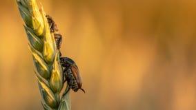 Anisoplia-segetum Insekt, Plage von Rasenflächen lizenzfreies stockfoto