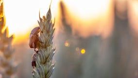 Anisoplia-segetum Insekt, Plage von Rasenflächen lizenzfreie stockbilder
