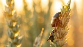 Anisoplia-segetum Insekt, Plage von Rasenflächen stockfotografie