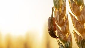 Anisoplia-segetum Insekt, Plage von Rasenflächen lizenzfreie stockfotos
