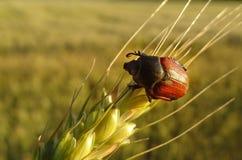 Anisoplia sull'orecchio del grano Immagini Stock