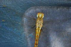 Anisoptera Fotografía de archivo libre de regalías