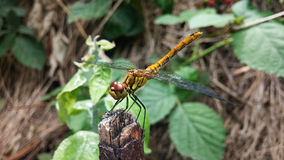 Anisoptera (Dragonfly). Standing On Top Of A Tree Branch royalty free stock image