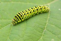 Anisswallowtaillarv, Papilio machaon, Papilio zelicaon arkivbilder