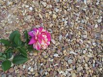 Aniversário Rose Background foto de stock