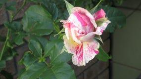 Aniversário Rose Blessing imagens de stock