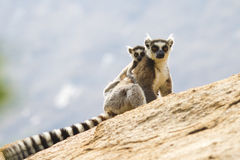 anja狐猴尾部有环纹马达加斯加的预留 图库摄影