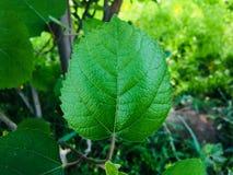 Anjeer den nya gröna bladbilden KK15 Royaltyfria Bilder