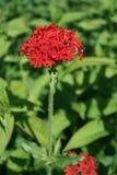 Anjer het groeien in de tuin Royalty-vrije Stock Fotografie