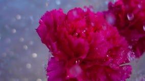 anjerbloem op regen stock videobeelden