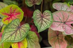 Anjo-asas, Caladium com folhas da fantasia Fotografia de Stock Royalty Free