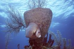 Anjo cinzento em Belize Fotografia de Stock Royalty Free