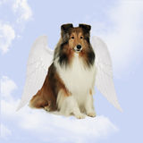 Anjo de Sheltie Fotos de Stock Royalty Free