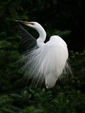 Anjo do Egret Foto de Stock