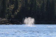 Anjo do sopro! Pulverizador do sopro da baleia de corcunda fotos de stock royalty free