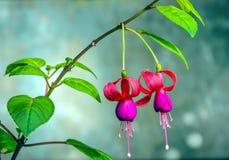 Anjo que earing, flores bonitas Foto de Stock