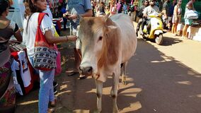 ANJUNA, GOA, INDIA JANUARY 2, 2019: Typical indian holy cow walks on local flea market - tries to beg tourist for some food, very