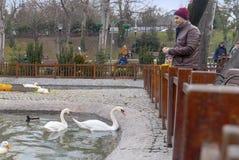 Ankara, styczeń 19 2019/: Ojciec i syn karmi białych łabędź w Kugulu parku obraz stock