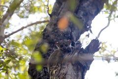 Ankaran är den Sportive makin, den Lepilemur ankaranensisen, en sällsynt endemiskmaki nattlig, i reserven Tsingy Ankarana, Madaga Royaltyfri Foto