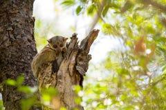 Ankaran är den Sportive makin, den Lepilemur ankaranensisen, en sällsynt endemiskmaki nattlig, i reserven Tsingy Ankarana, Madaga Arkivfoton